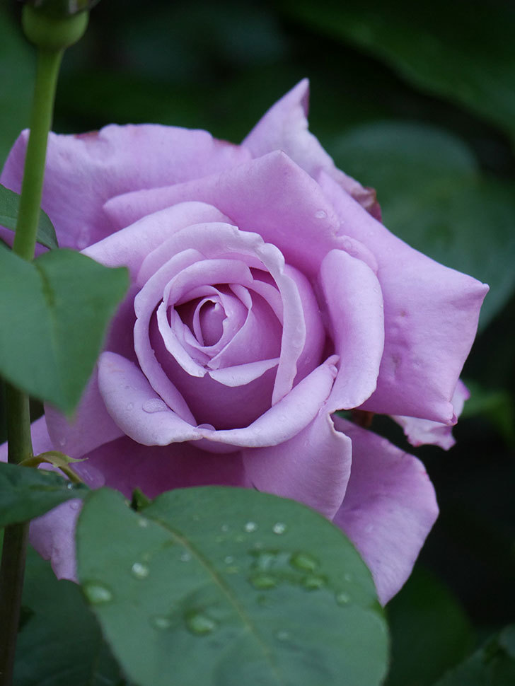 シャルルドゴール(Charles de Gaulle)の花が咲いた。木立バラ。2021年-006.jpg