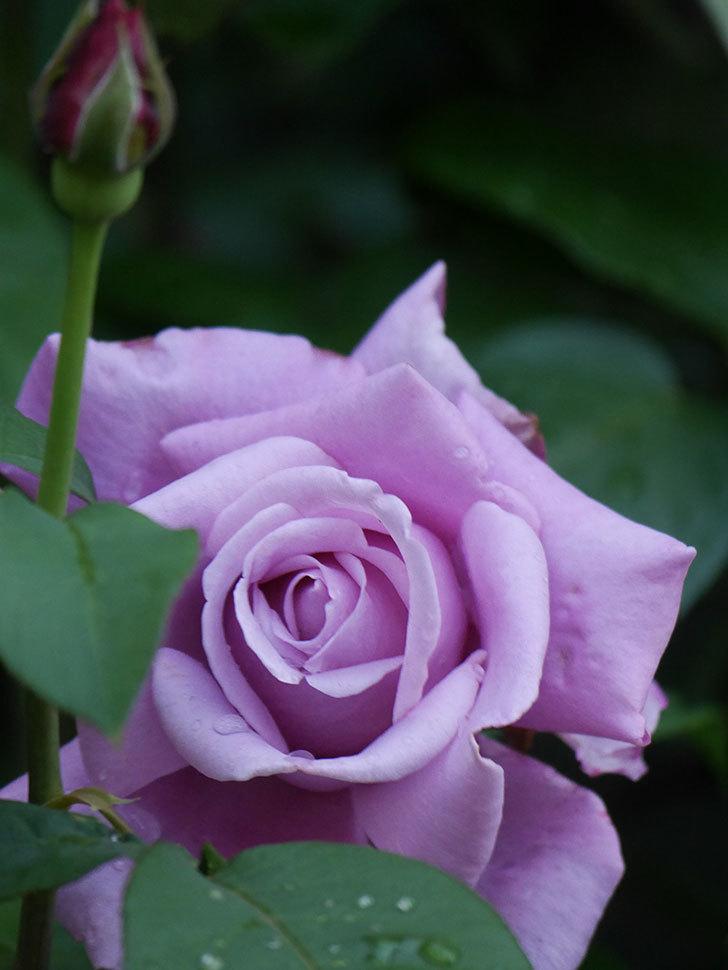 シャルルドゴール(Charles de Gaulle)の花が咲いた。木立バラ。2021年-007.jpg