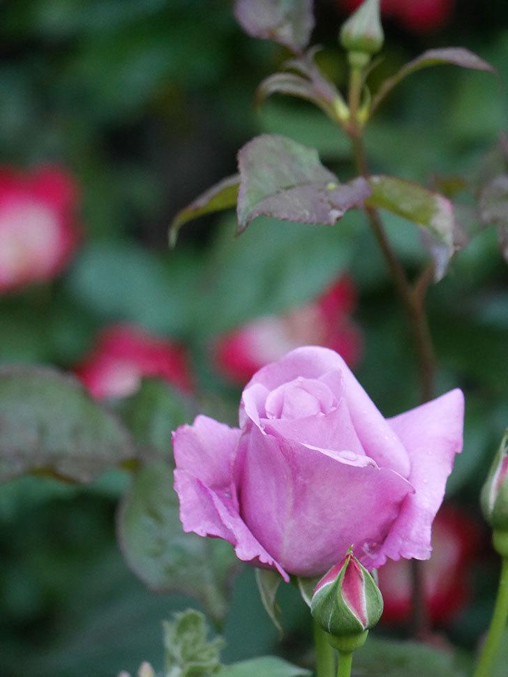 シャルルドゴール(Charles de Gaulle)の花が咲いた。木立バラ。2021年-008.jpg