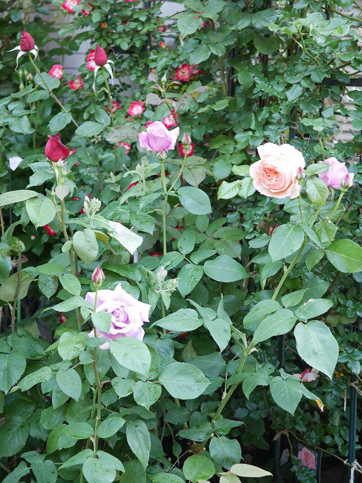 シャルルドゴール(Charles de Gaulle)の花が咲いた。木立バラ。2021年-009.jpg