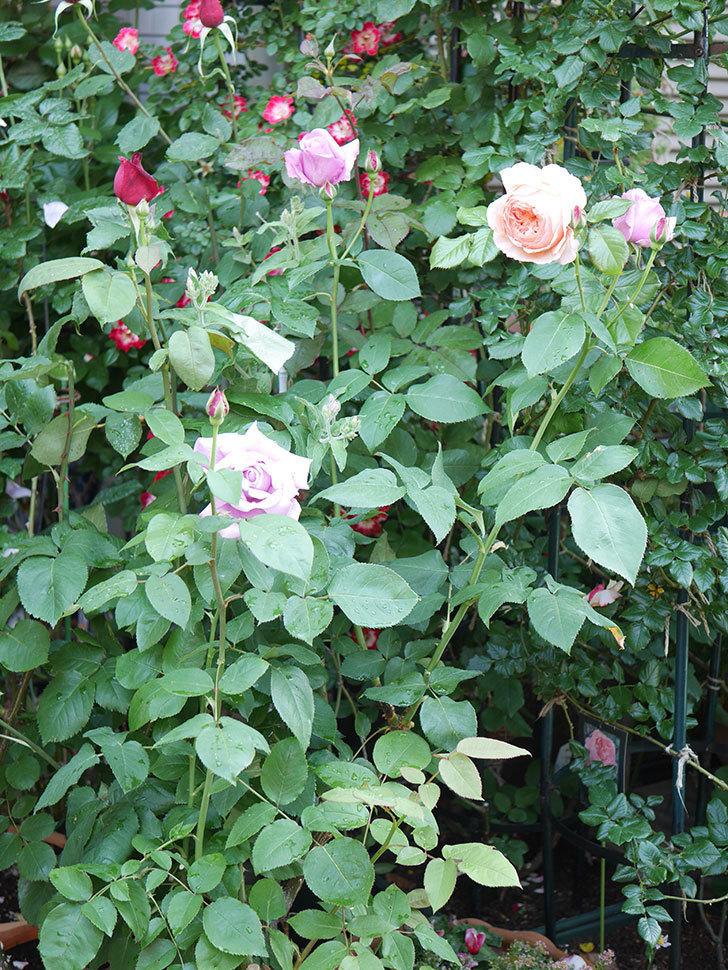 シャルルドゴール(Charles de Gaulle)の花が咲いた。木立バラ。2021年-010.jpg