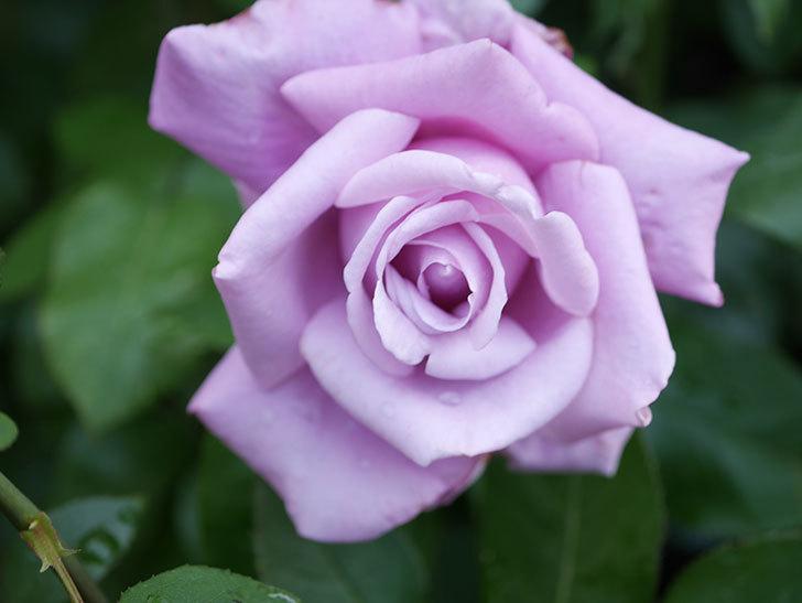 シャルルドゴール(Charles de Gaulle)の花が咲いた。木立バラ。2021年-011.jpg