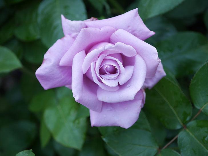シャルルドゴール(Charles de Gaulle)の花が咲いた。木立バラ。2021年-012.jpg