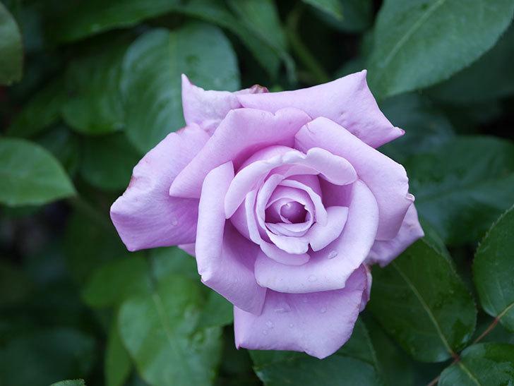 シャルルドゴール(Charles de Gaulle)の花が咲いた。木立バラ。2021年-013.jpg