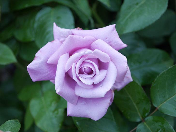 シャルルドゴール(Charles de Gaulle)の花が咲いた。木立バラ。2021年-014.jpg