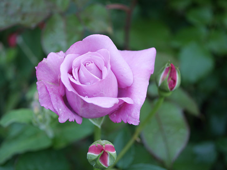 シャルルドゴール(Charles de Gaulle)の花が咲いた。木立バラ。2021年-015.jpg