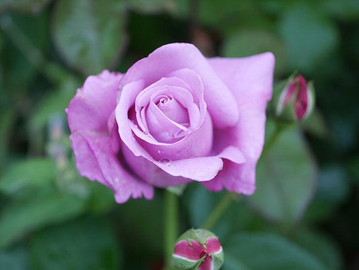 シャルルドゴール(Charles de Gaulle)の花が咲いた。木立バラ。2021年-016.jpg