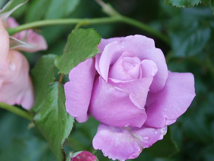 シャルルドゴール(Charles de Gaulle)の花が咲いた。木立バラ。2021年-017.jpg