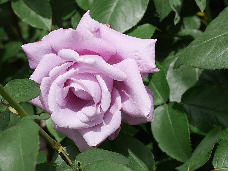 シャルルドゴール(Charles de Gaulle)の花が咲いた。木立バラ。2021年-018.jpg
