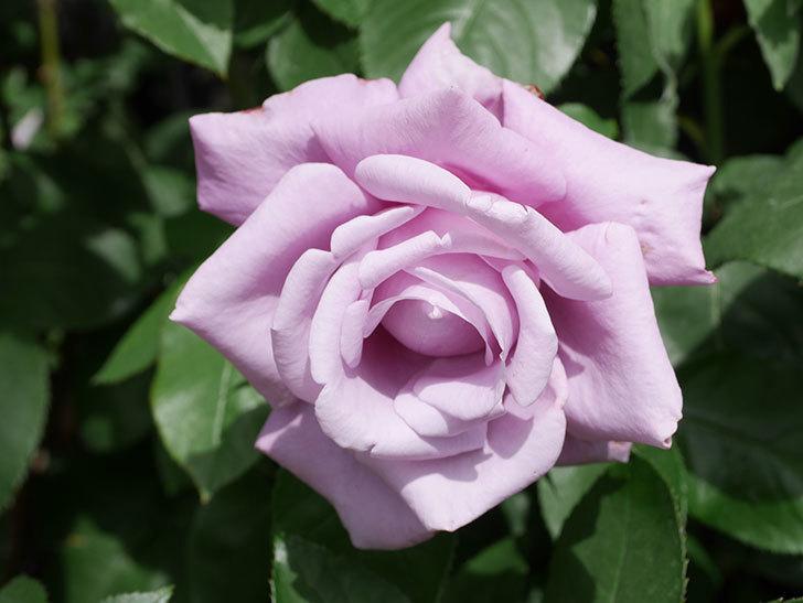 シャルルドゴール(Charles de Gaulle)の花が咲いた。木立バラ。2021年-019.jpg