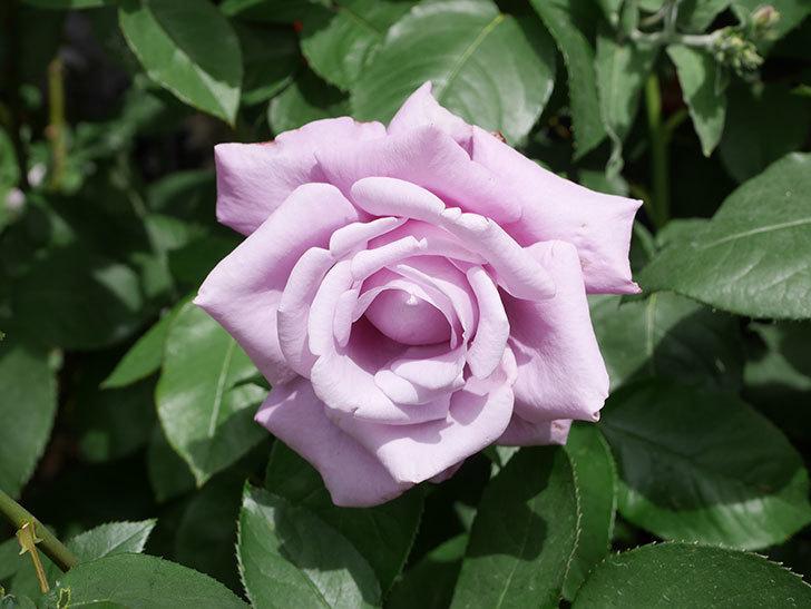 シャルルドゴール(Charles de Gaulle)の花が咲いた。木立バラ。2021年-020.jpg