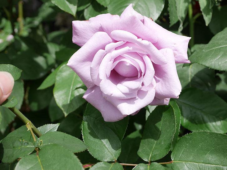 シャルルドゴール(Charles de Gaulle)の花が咲いた。木立バラ。2021年-021.jpg