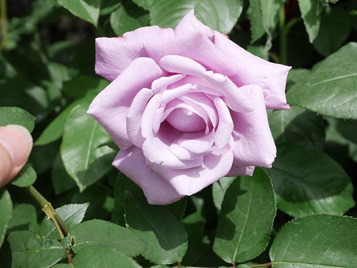 シャルルドゴール(Charles de Gaulle)の花が咲いた。木立バラ。2021年-022.jpg