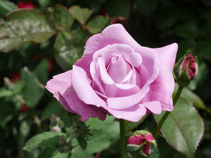 シャルルドゴール(Charles de Gaulle)の花が咲いた。木立バラ。2021年-024.jpg