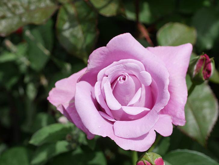 シャルルドゴール(Charles de Gaulle)の花が咲いた。木立バラ。2021年-025.jpg