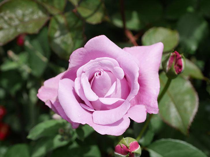 シャルルドゴール(Charles de Gaulle)の花が咲いた。木立バラ。2021年-026.jpg