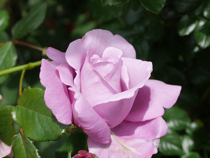シャルルドゴール(Charles de Gaulle)の花が咲いた。木立バラ。2021年-027.jpg