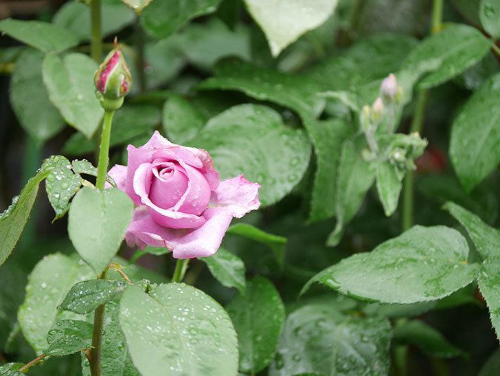 シャルルドゴール(Charles de Gaulle)の花が少し咲いた。木立バラ。2021年-002.jpg