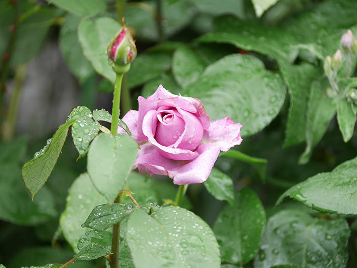 シャルルドゴール(Charles de Gaulle)の花が少し咲いた。木立バラ。2021年-003.jpg