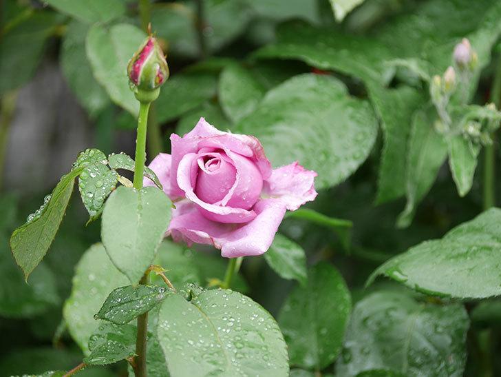 シャルルドゴール(Charles de Gaulle)の花が少し咲いた。木立バラ。2021年-004.jpg