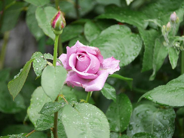 シャルルドゴール(Charles de Gaulle)の花が少し咲いた。木立バラ。2021年-005.jpg