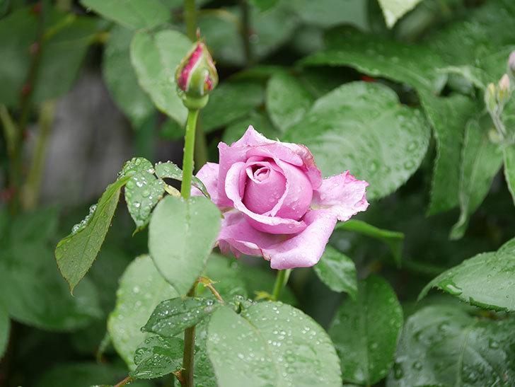 シャルルドゴール(Charles de Gaulle)の花が少し咲いた。木立バラ。2021年-006.jpg