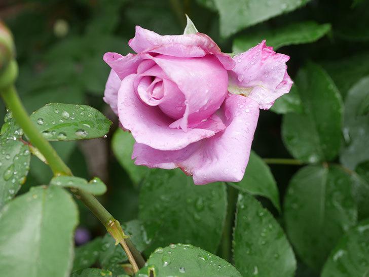 シャルルドゴール(Charles de Gaulle)の花が少し咲いた。木立バラ。2021年-009.jpg