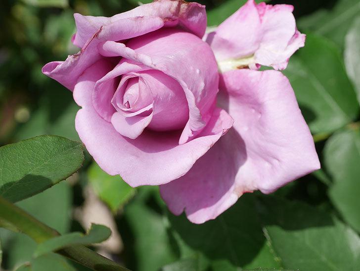 シャルルドゴール(Charles de Gaulle)の花が少し咲いた。木立バラ。2021年-016.jpg