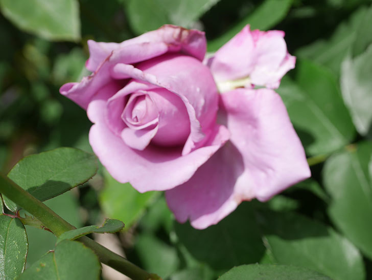 シャルルドゴール(Charles de Gaulle)の花が少し咲いた。木立バラ。2021年-017.jpg