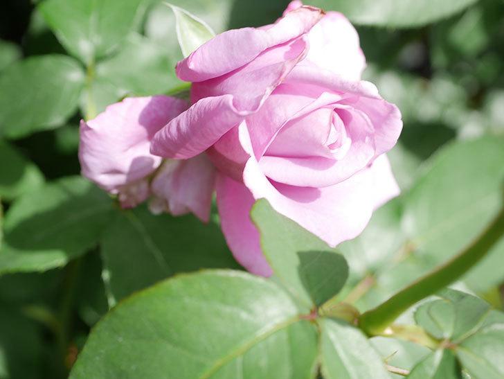 シャルルドゴール(Charles de Gaulle)の花が少し咲いた。木立バラ。2021年-018.jpg