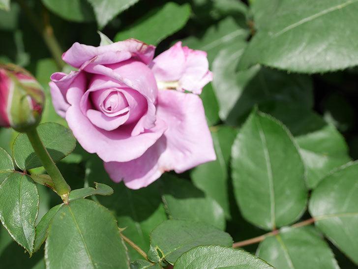 シャルルドゴール(Charles de Gaulle)の花が少し咲いた。木立バラ。2021年-019.jpg