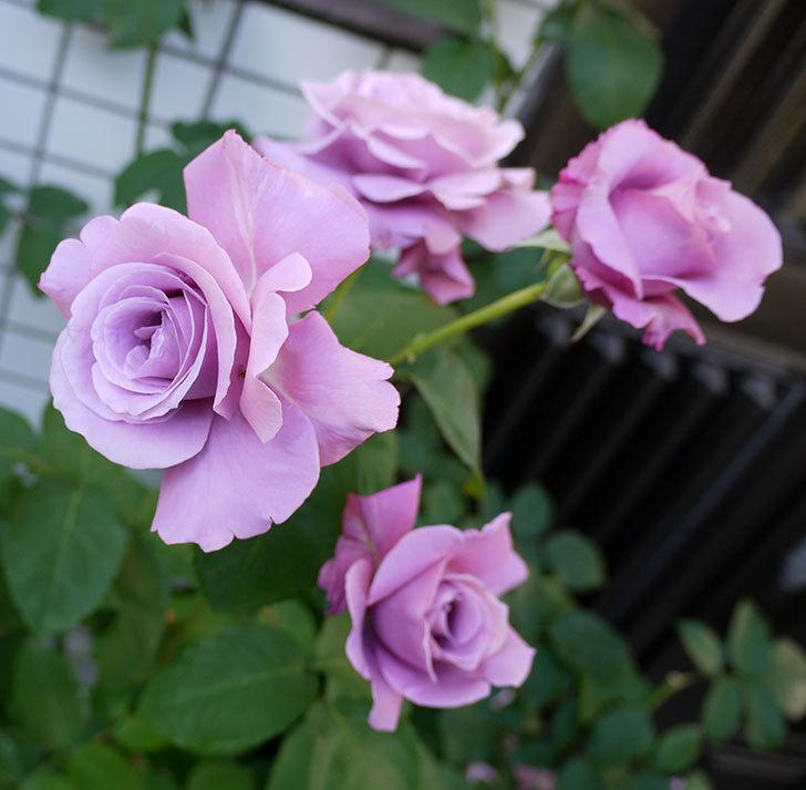 シャルルドゴール(木立バラ)がまた咲いた。2017年-13.jpg