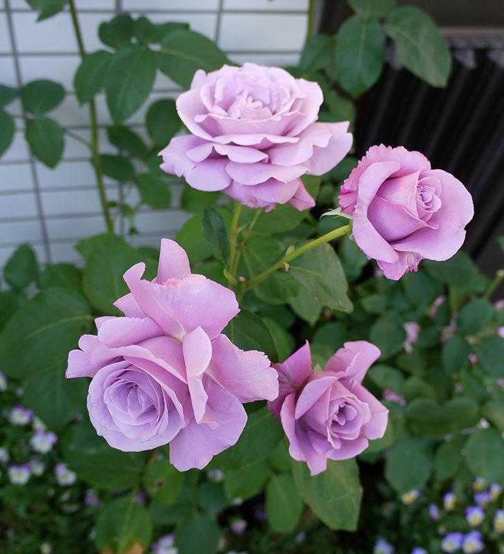 シャルルドゴール(木立バラ)がまた咲いた。2017年-15.jpg
