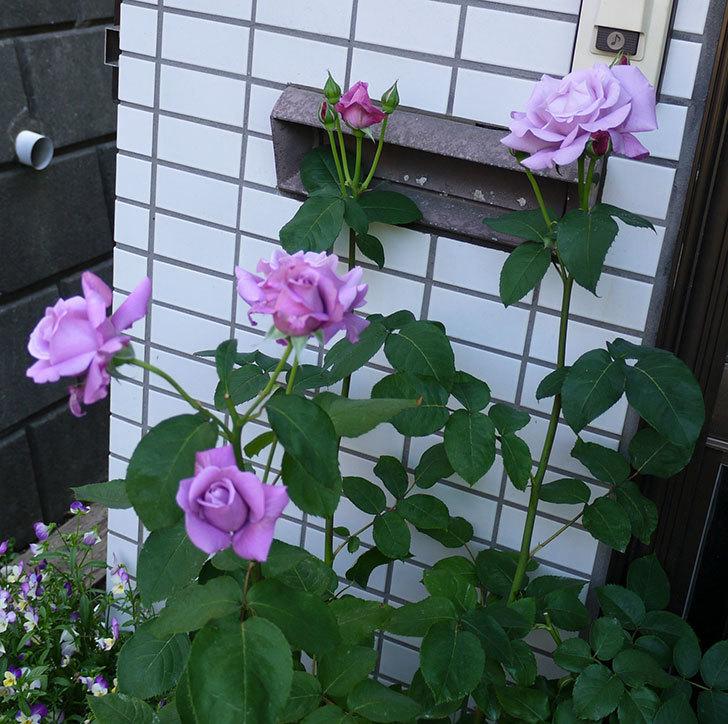 シャルルドゴール(木立バラ)がまた咲いた。2017年-3.jpg