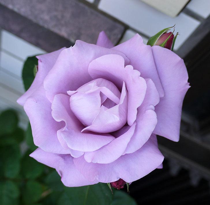 シャルルドゴール(木立バラ)がまた咲いた。2017年-4.jpg