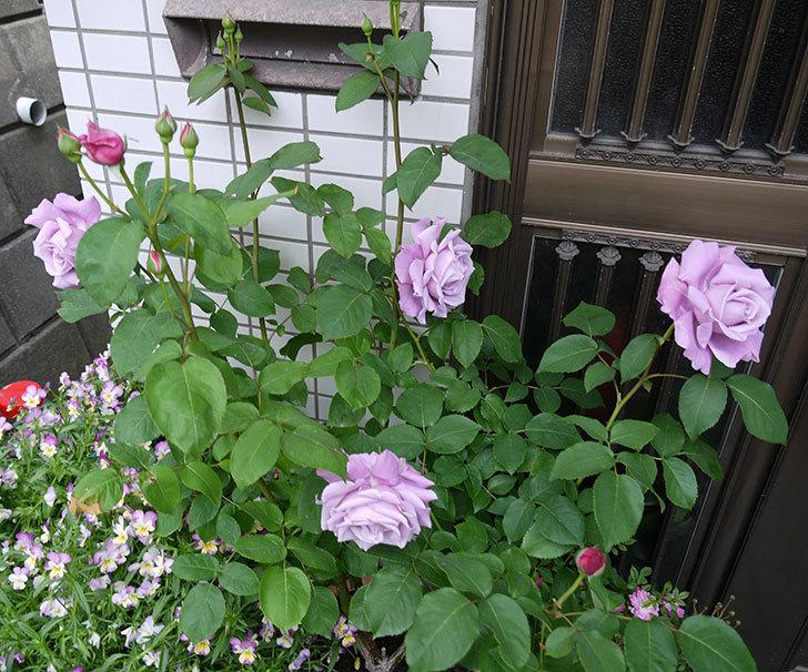 シャルルドゴール(木立バラ)が綺麗に咲いた。2017年-8.jpg