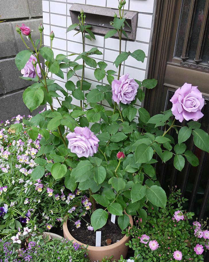 シャルルドゴール(木立バラ)が綺麗に咲いた。2017年-9.jpg