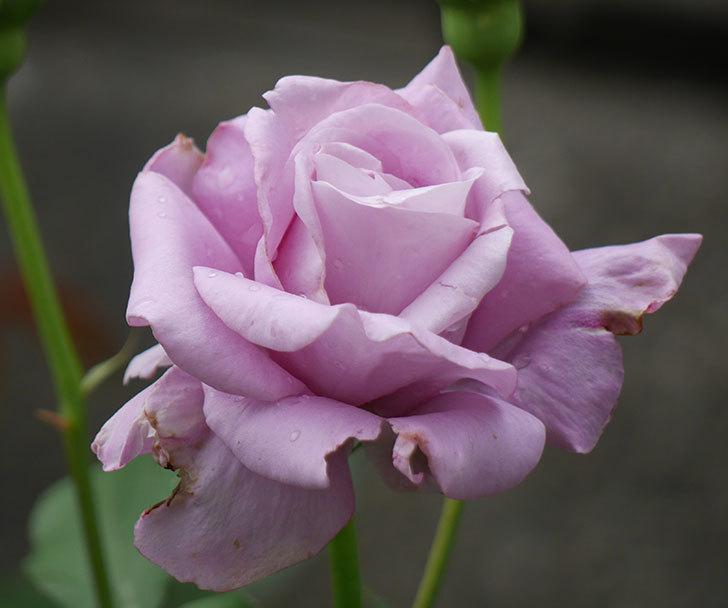 シャルルドゴール(木立バラ)が綺麗に咲いた。2018年-12.jpg