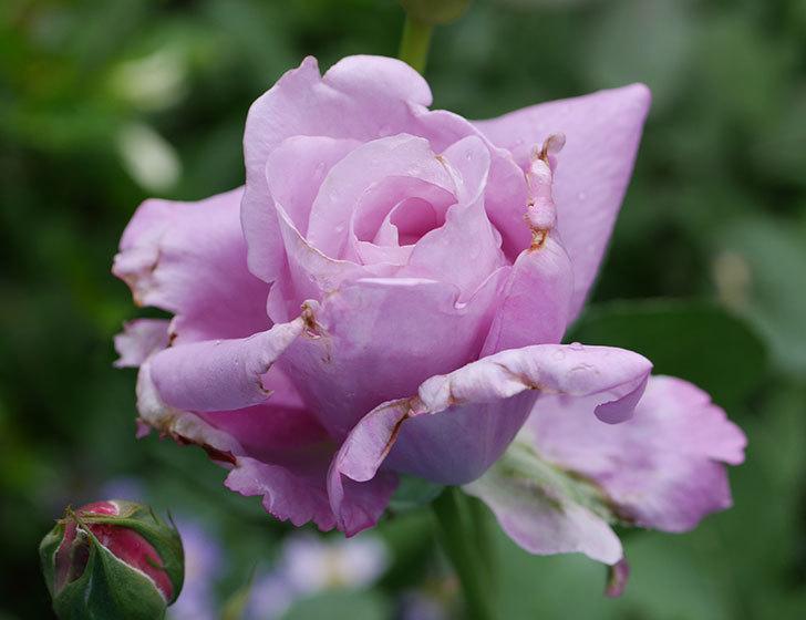 シャルルドゴール(木立バラ)が綺麗に咲いた。2018年-7.jpg