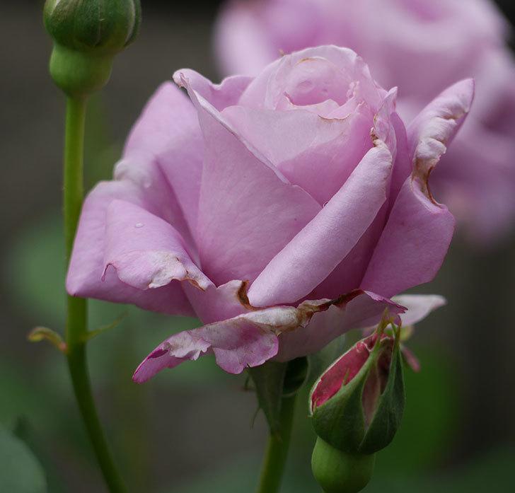 シャルルドゴール(木立バラ)が綺麗に咲いた。2018年-9.jpg