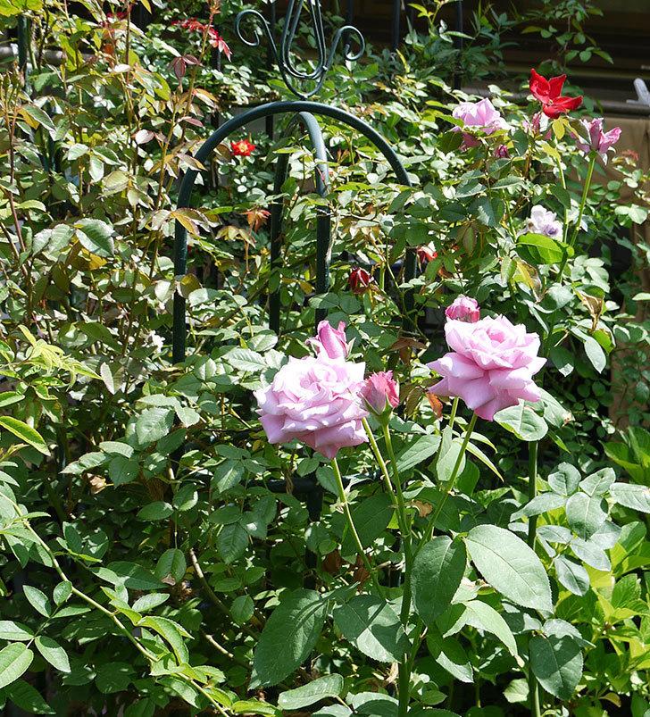 シャルルドゴール(木立バラ)の2番花がたくさん咲いた。2017年-6.jpg