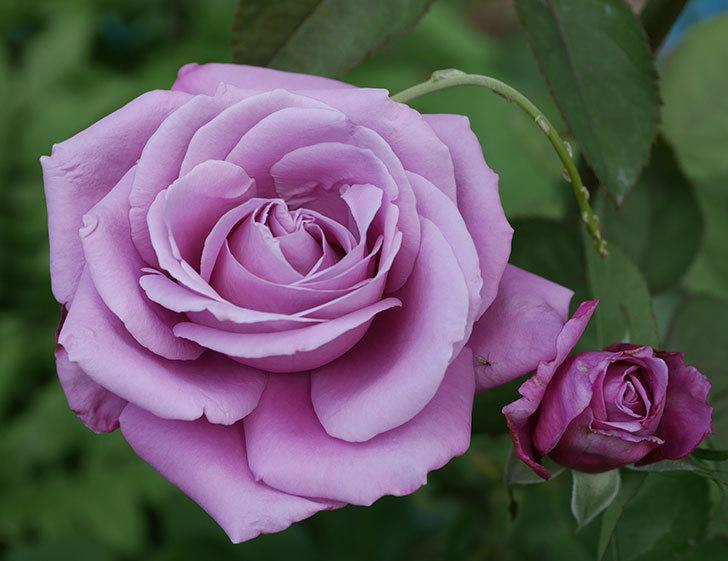 シャルルドゴール(木立バラ)の2番花が咲いた。2018年-2.jpg