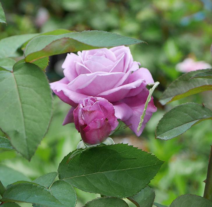 シャルルドゴール(木立バラ)の2番花が咲いた。2018年-3.jpg