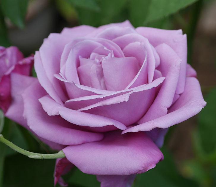 シャルルドゴール(木立バラ)の2番花が咲いた。2018年-8.jpg