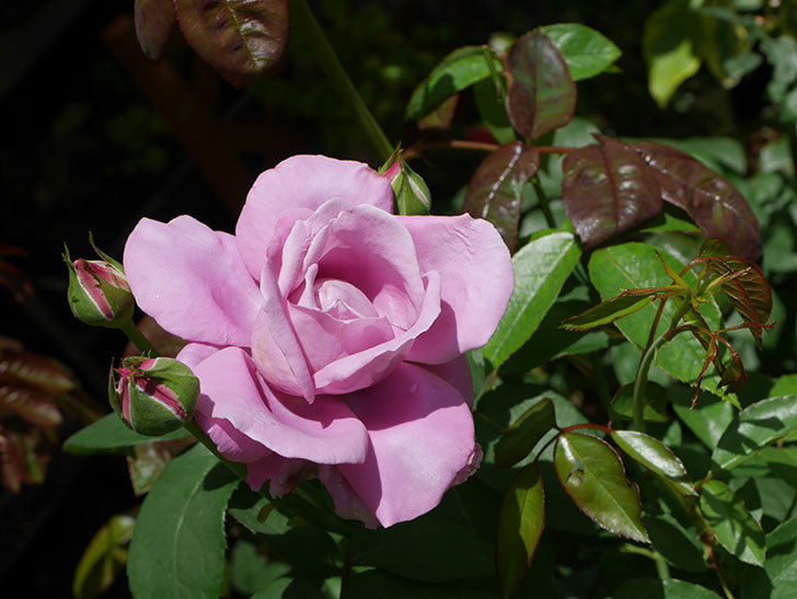 シャルルドゴール(木立バラ)の2番花が咲いた。2019年-1.jpg