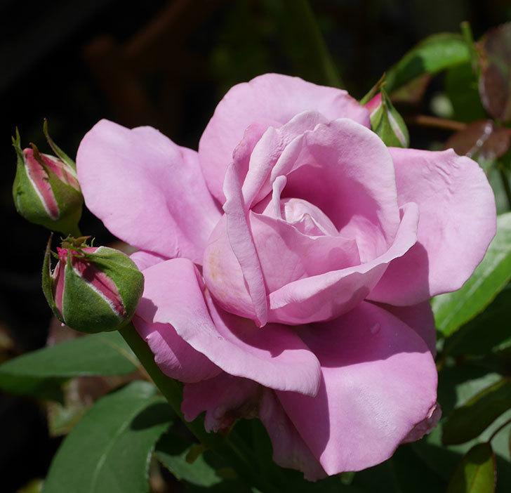 シャルルドゴール(木立バラ)の2番花が咲いた。2019年-2.jpg