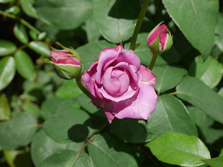 シャルルドゴール(木立バラ)の2番花が咲いた。2019年-3.jpg