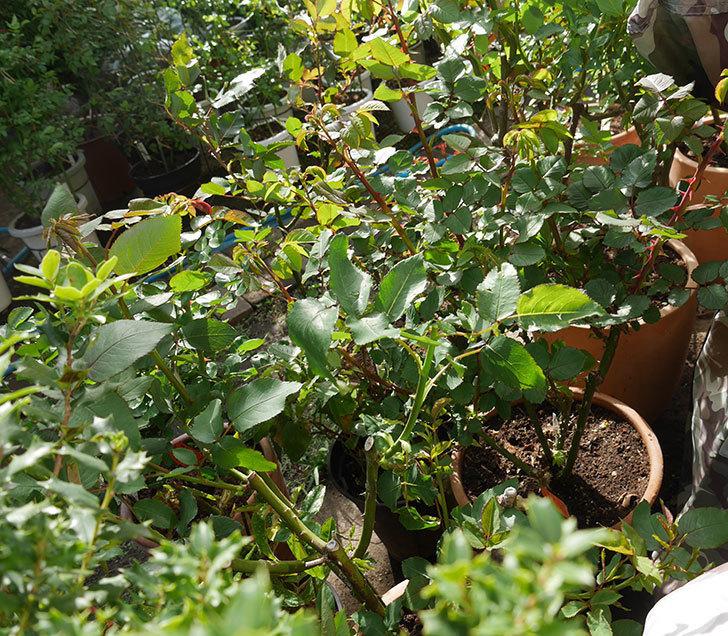 シャルルドゴール(木立バラ)の新枝が強風で折れた。2018年-7.jpg
