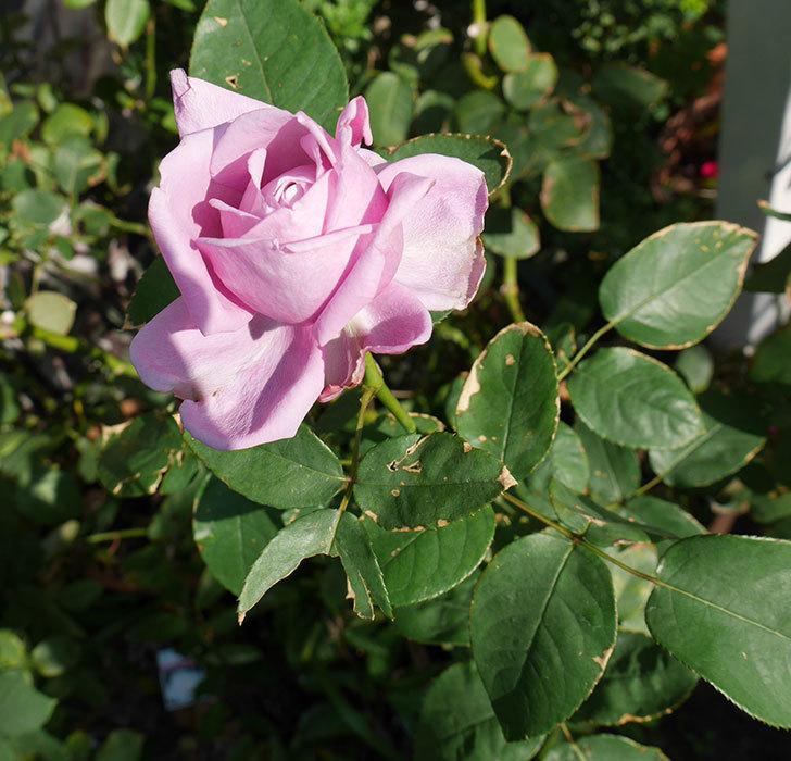 シャルルドゴール(木立バラ)の秋花が咲いた。2017年-3.jpg