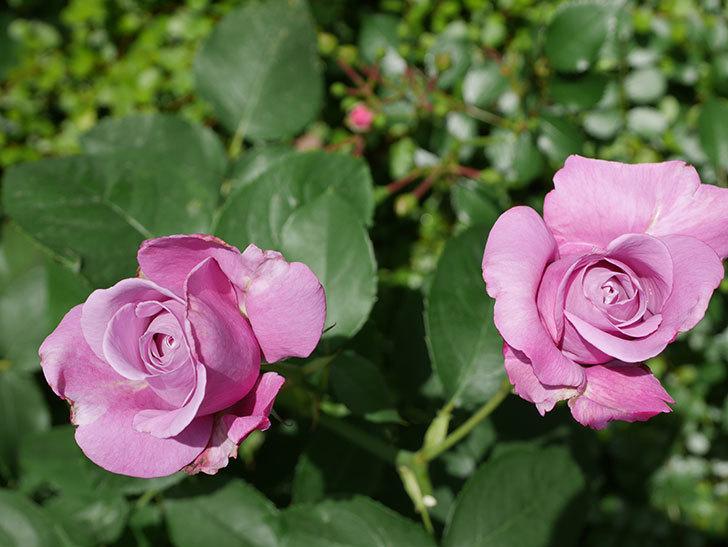 シャルルドゴール(木立バラ)の花が3個咲いた。2018年-5.jpg